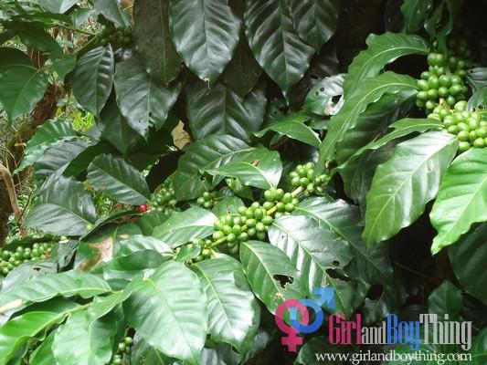 coffee arabica garden girlandboything2