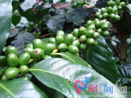 coffee arabica garden girlandboything3