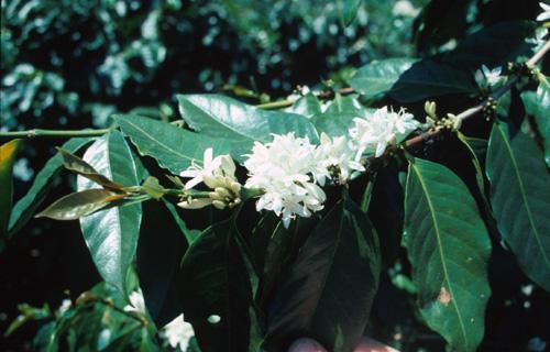 coffee-plant-2