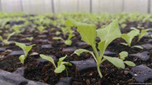 Ato Belen's Farm seedlings