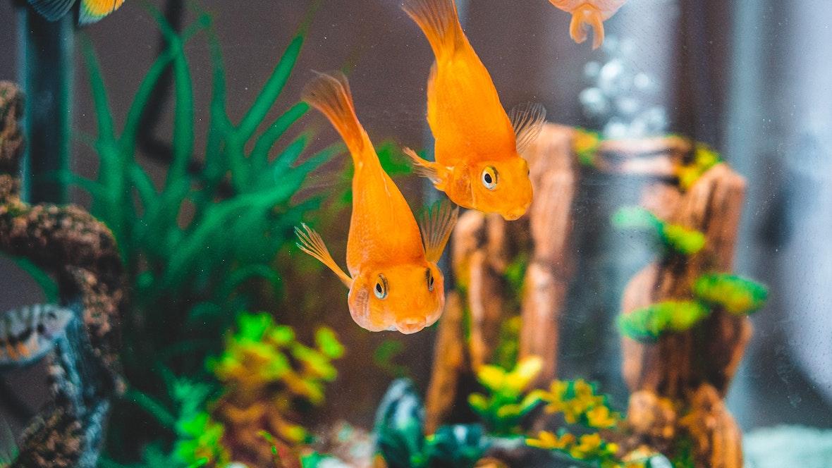 4 Beginner Tips For Breeding Aquarium Fish